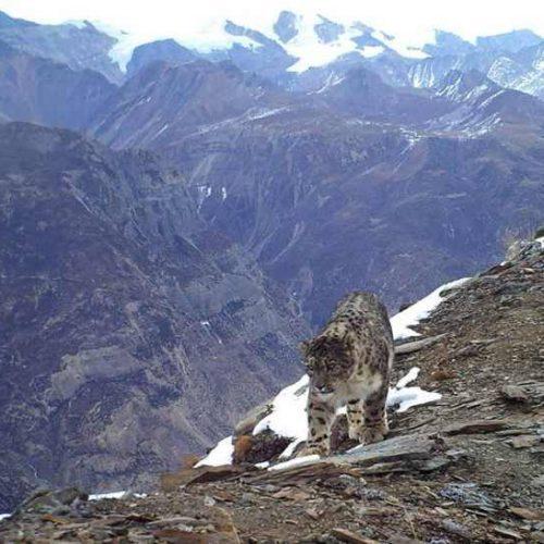 Kanchenjunga trekking leopart